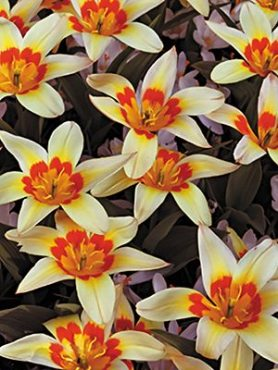 Тюльпаны Кауфмана Corona 1011 (3 шт)