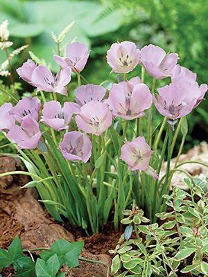 Калохортус одноцветковый Cupido (5 шт) - 1