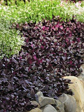 Альтернатера Purple Prince (3 шт)