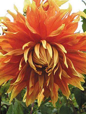 Жоржина декоративна Autumn Sunburst (1 шт) - 1