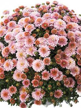 Хризантема мелкоцветковая низкорослая Branking Pink (3 шт)