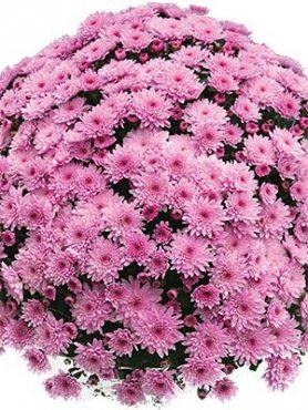 Хризантема мелкоцветковая низкорослая Branfountain Pink (3 шт)