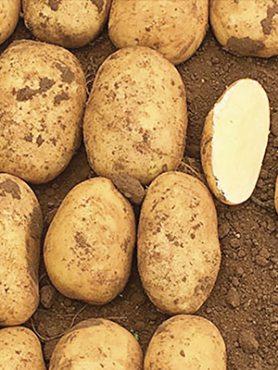 Картофель Маверик (1 кг)