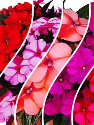 Бальзамин новогвинейский Petticoat смесь (6 шт) - 1