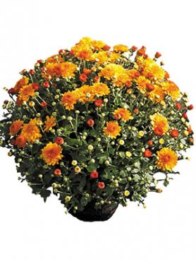 Хризантема мелкоцветковая низкорослая Branforest (3 шт)