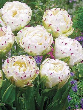 Тюльпаны Махровые поздние Danceline 1112 (20 шт)