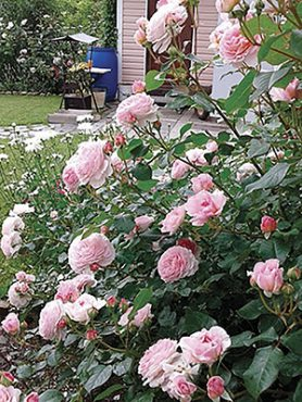 Роза шраб James Galway(1 шт)