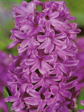 Гіацинт садовий Purple Voice 1516 (1 шт)