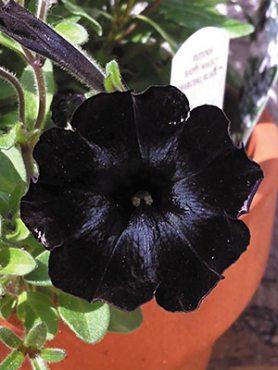 Петунія полуампельная Happy Magic Charcoal Black (6 шт)
