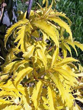 Бузина кистистая Sutherland Gold (осень) (1 шт)