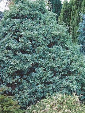 Кипарисовик горохоплодный Squarrosa (1 шт)