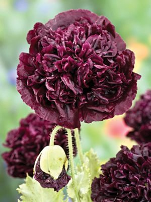 Мак пионоцветковый Black, темно-вишневый махровый (0,3 г) - 1