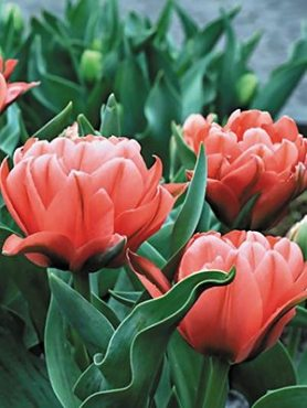 Тюльпани Грейга Double Toronto 1011 (3 шт)