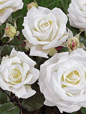 Троянда флорибунда Iceberg(1 шт)