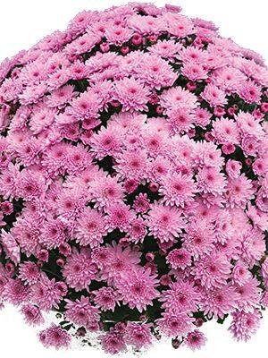 Хризантема дрібноквіткова низькоросла Branfountain Pink (3 шт) - 1