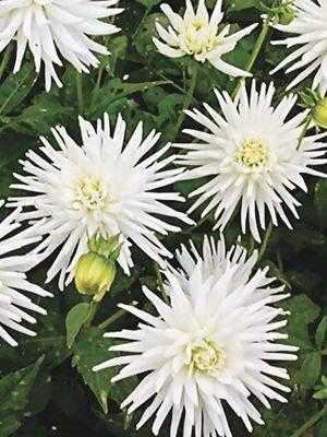Жоржина кактусова бордюрна Playa Blanca (1 шт) - 1