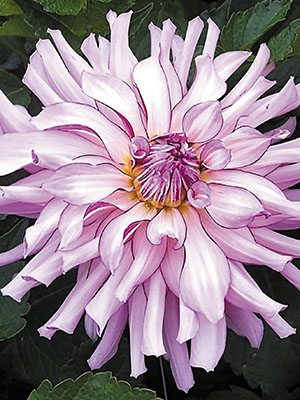 Жоржина кактусова Leila Savanna Rose (1 шт) - 1