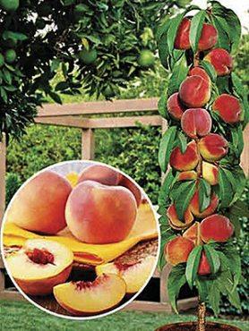 Персик колоновидна Сувенір (1 шт)