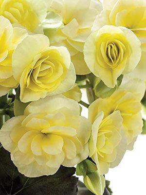 Бегонія красивоцветущая (зимова) Glory Lemon (1 шт) - 1