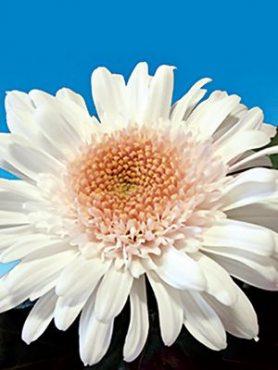 Хризантема срезочная Eleonora Snow (3 шт)