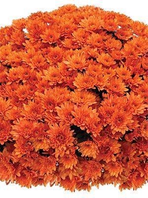 Хризантема мелкоцветковая низкорослая Branopal Orange (3 шт) - 1