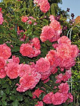 Роза шраб Rosarium Uetersen(1 шт)