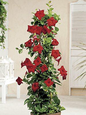 Дипладения Bloom Bells Red (1 шт) осень - 1