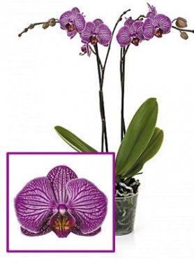 Фаленопсис гибридный Romanion (1 шт)