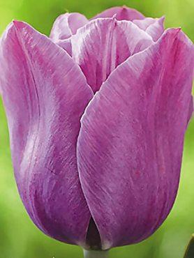 Тюльпаны Простые поздние Violet Beauty 1112 (3 шт)