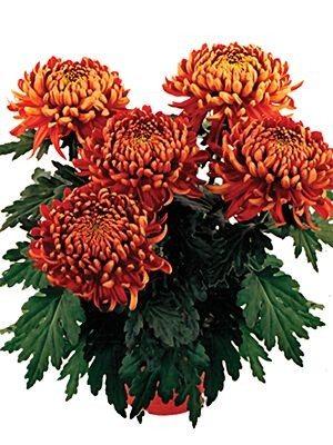 Хризантема кімнатні Trumpf Red (9 шт) - 1