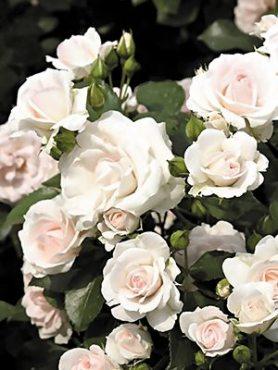 Роза почвопокровная Aspirin Rose (1 шт)