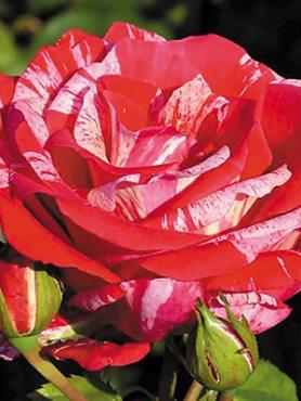 Роза чайно-гибридная Papageno(1 шт)