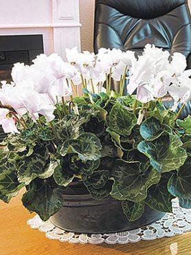 Цикламен Fleur En Vogue White F1(1 шт)