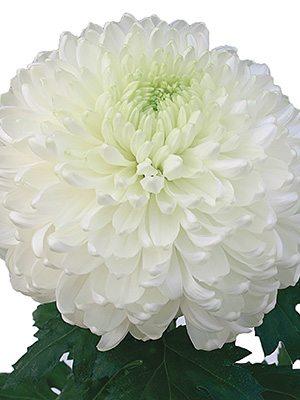 Хризантема срезочная Palisade White (9 шт) - 1