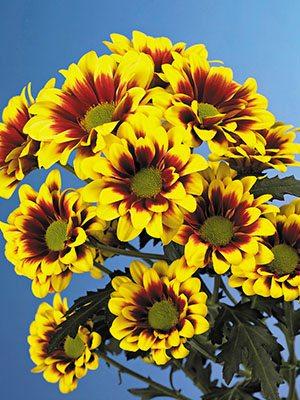 Хризантема срезочная Flairisse (3 шт) - 1
