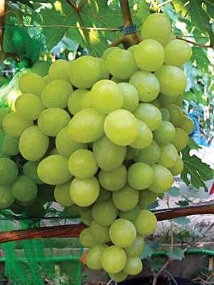 Виноград Валек мускат (1 шт) - 1