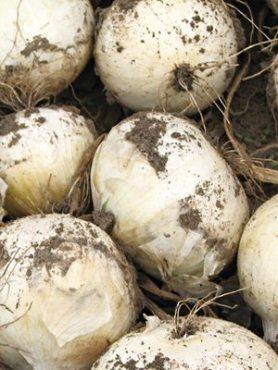Лук севок Сноуболл (0,5 кг)