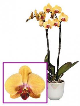 Фаленопсис гибридный Golden Beauty (1 шт)