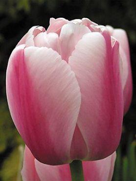 Тюльпани Дарвиновы гібриді. Ollioules 1112 (3 шт)