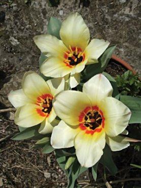 Тюльпани Грейга Albion Star 1011 (3 шт)