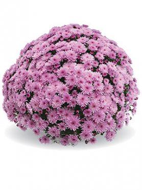 Хризантема мелкоцветковая низкорослая Branfountain Pink (9 шт)