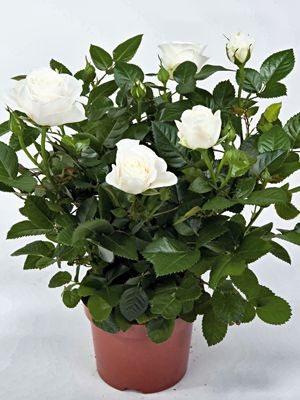 Роза горшечная White Star (1 шт) - 1