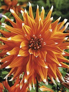 Георгина кактусовая Color Spectaclе (1 шт)