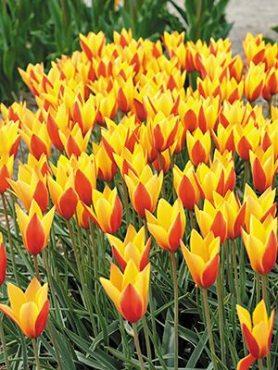 Тюльпани Клузіус Tubergen's Gem 56 (3 шт)