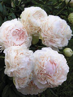 Пион молочноцветковый Solange (1 шт)