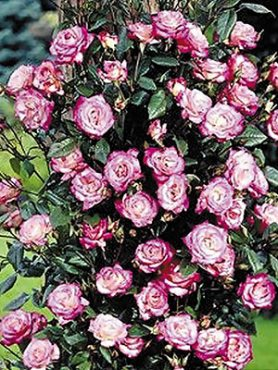 Роза плетистая Handel(1 шт)