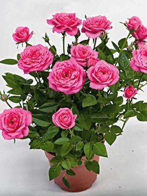 Роза горшечная Hippie Star (1 шт) - 1