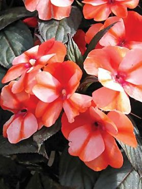 Бальзамін новогвінейський Paradise Orange Neptis (1 шт)