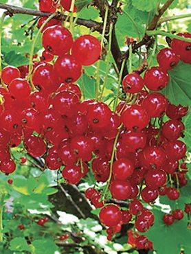Смородина красная Ролан (1 шт)