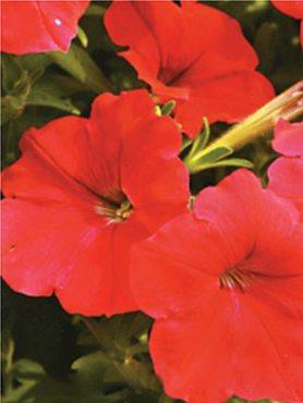 Петунія ампельна Лавина F1, червона (10 шт)